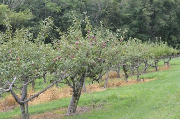 apples ripening on our trees