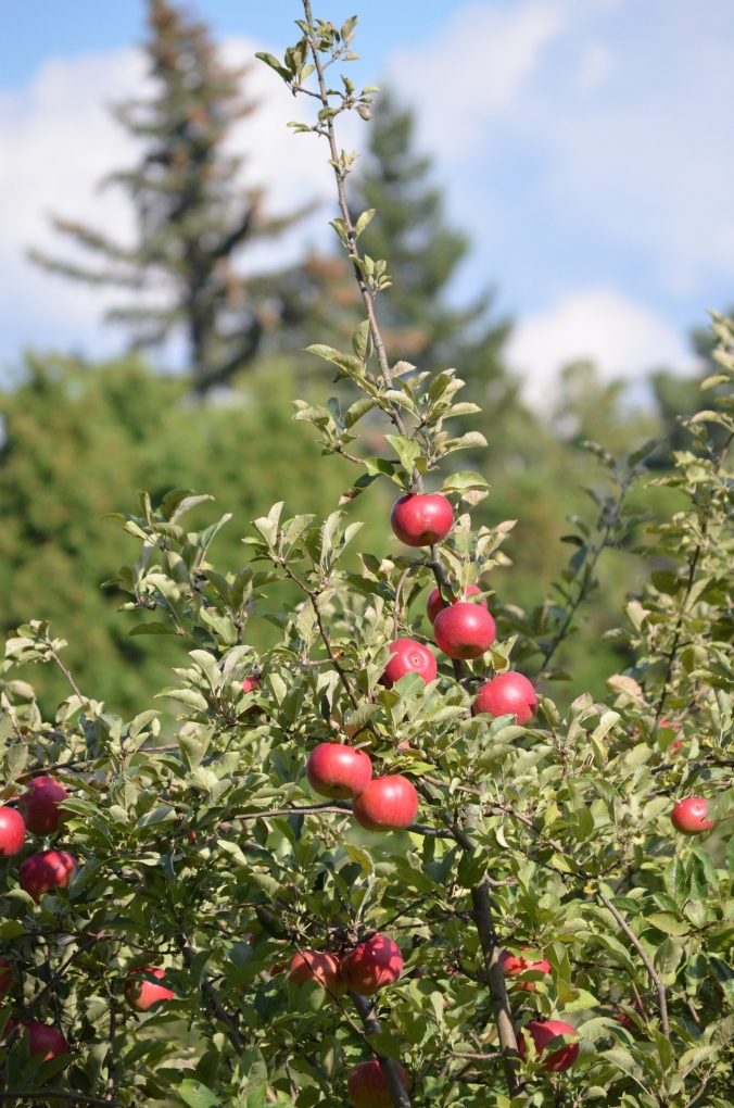 Apples ripen on the tree.