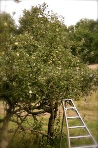 apple harvest season